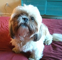 Penny, the Shih Tzu